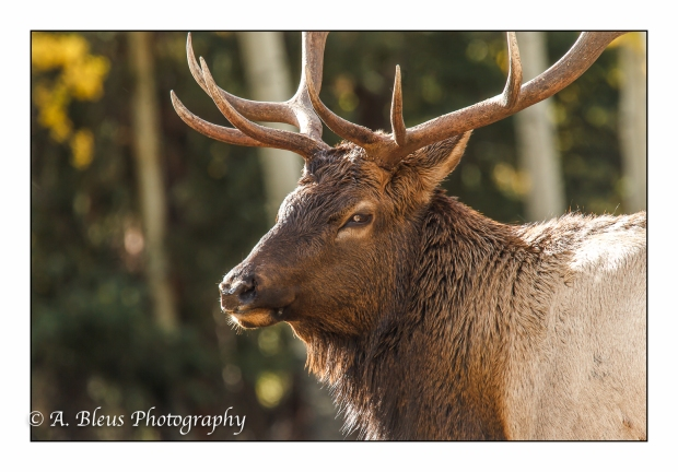 elk-profile-rocky-mountain-national-park-colorado_93e2205-3