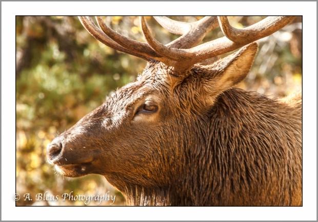 elk-profile-rocky-mountain-national-park-colorado_93e2205