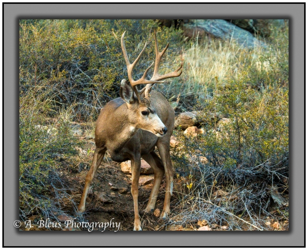 male-deer-in-rocky-mountains-national-park-colorado_93e2324-2