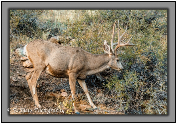 male-deer-in-rocky-mountains-national-park-colorado_93e2324-3