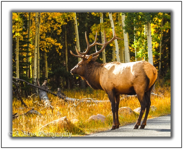 male-elk-rocky-mountain-national-park-colorado_93e2219