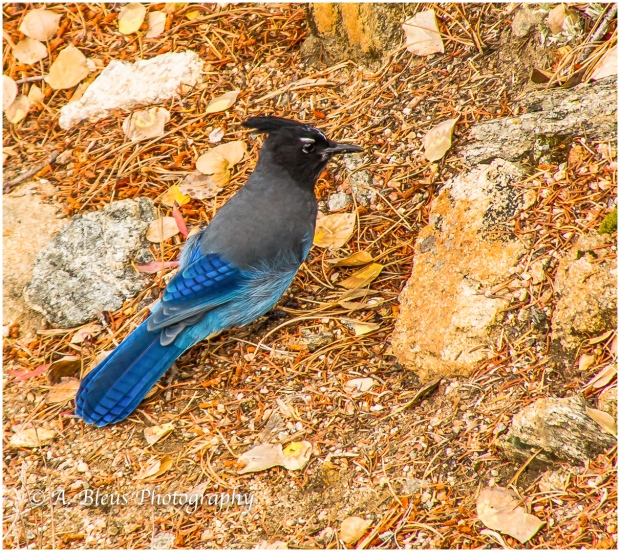 stellers-jay-of-rocky-mountains-colorado-93e1973-3