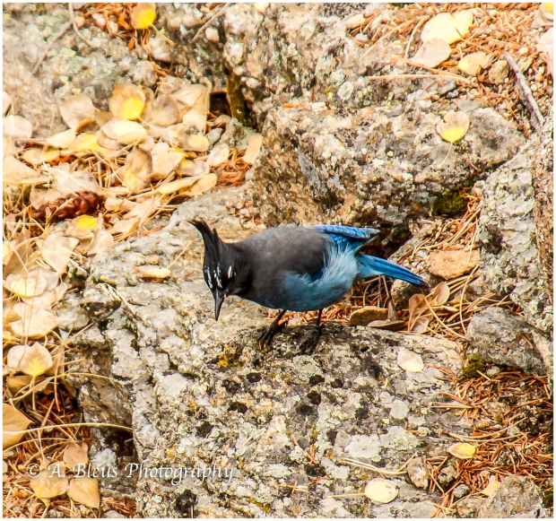 stellers-jay-of-rocky-mountains-colorado-93e1973