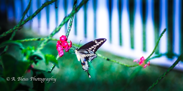swallowtail-butterfly-mg_2257-2