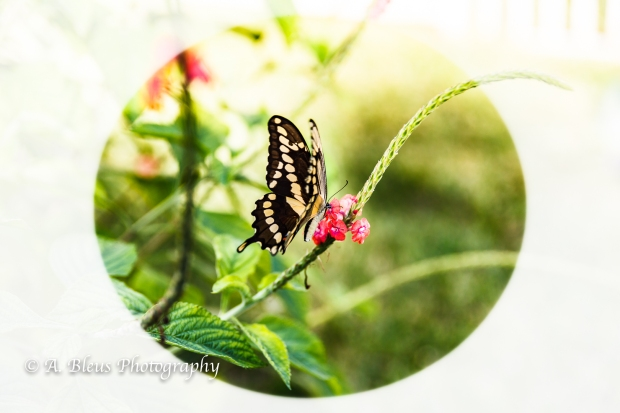 swallowtail-butterfly-mg_2257