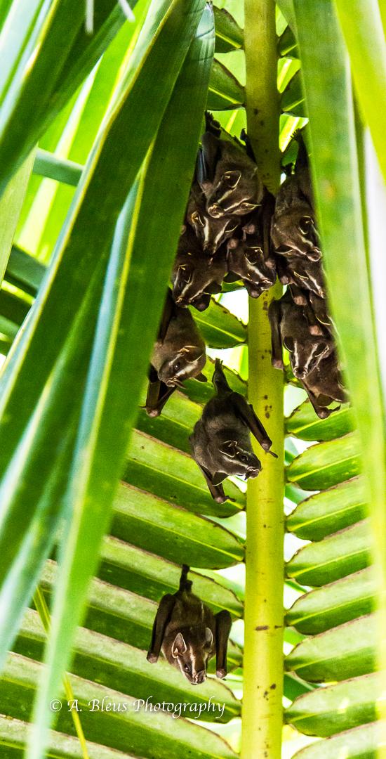 bats-colony-puerto-limon-costa-rica-mg_5642-2