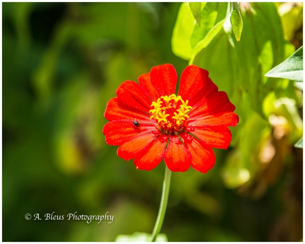 bug-on-red-zinnia-flower-puerto-limon-costa-rica-mg_5613