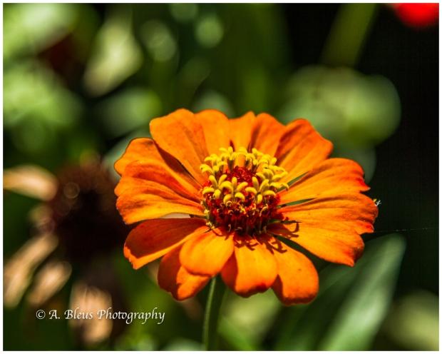 orange-zinnia-flower-puerto-limon-costa-rica-mg_5618