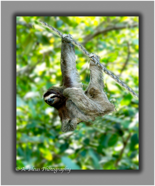 three-toed-sloth-puerto-limon-cr-mg_5706