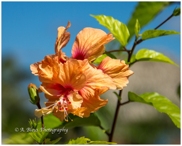 flora-of-harvest-caye-belize-c-a-mg_5451-4