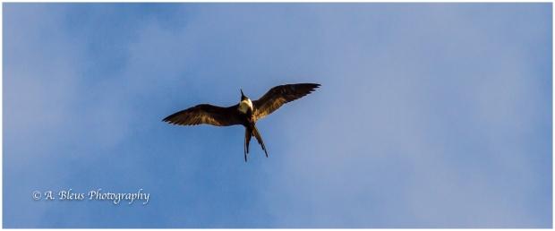 frigatebird-panama-canal-mg_5858-2