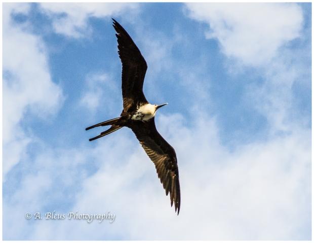 frigatebird-panama-canal-mg_5858