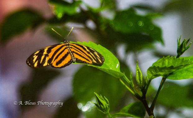 three-butterfly-species-of-harvest-caye-belize-c-a-mg_5449-2