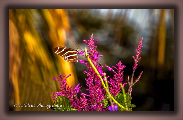 zebra-longwing-butterfly-on-flower