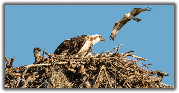 an-osprey-family-93e7567