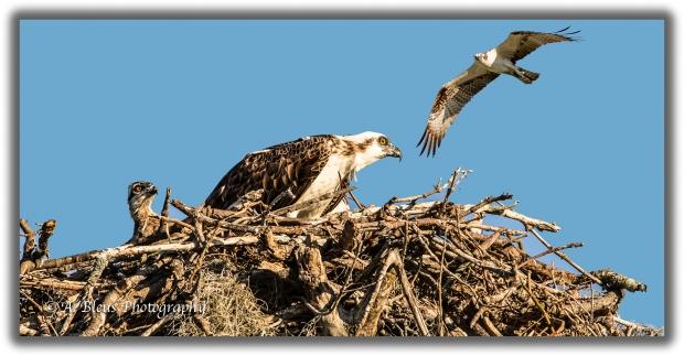an-osprey-family-93e7567