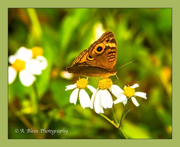 buckeye-butterfly-93e7272-2