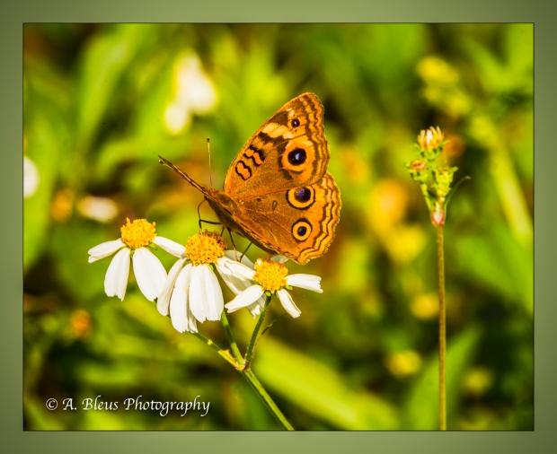 buckeye-butterfly-93e7272