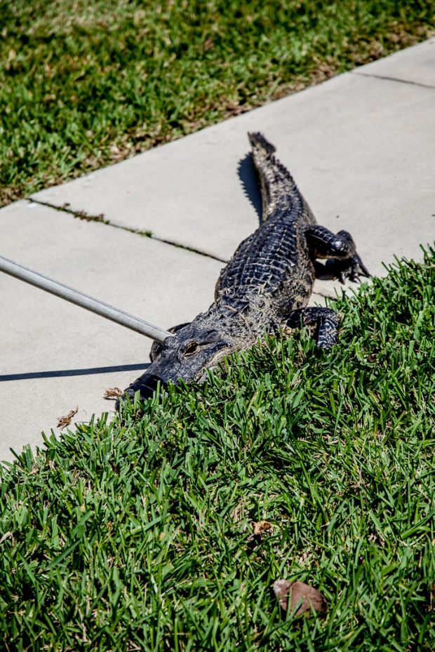 Gator in my Backyard-13