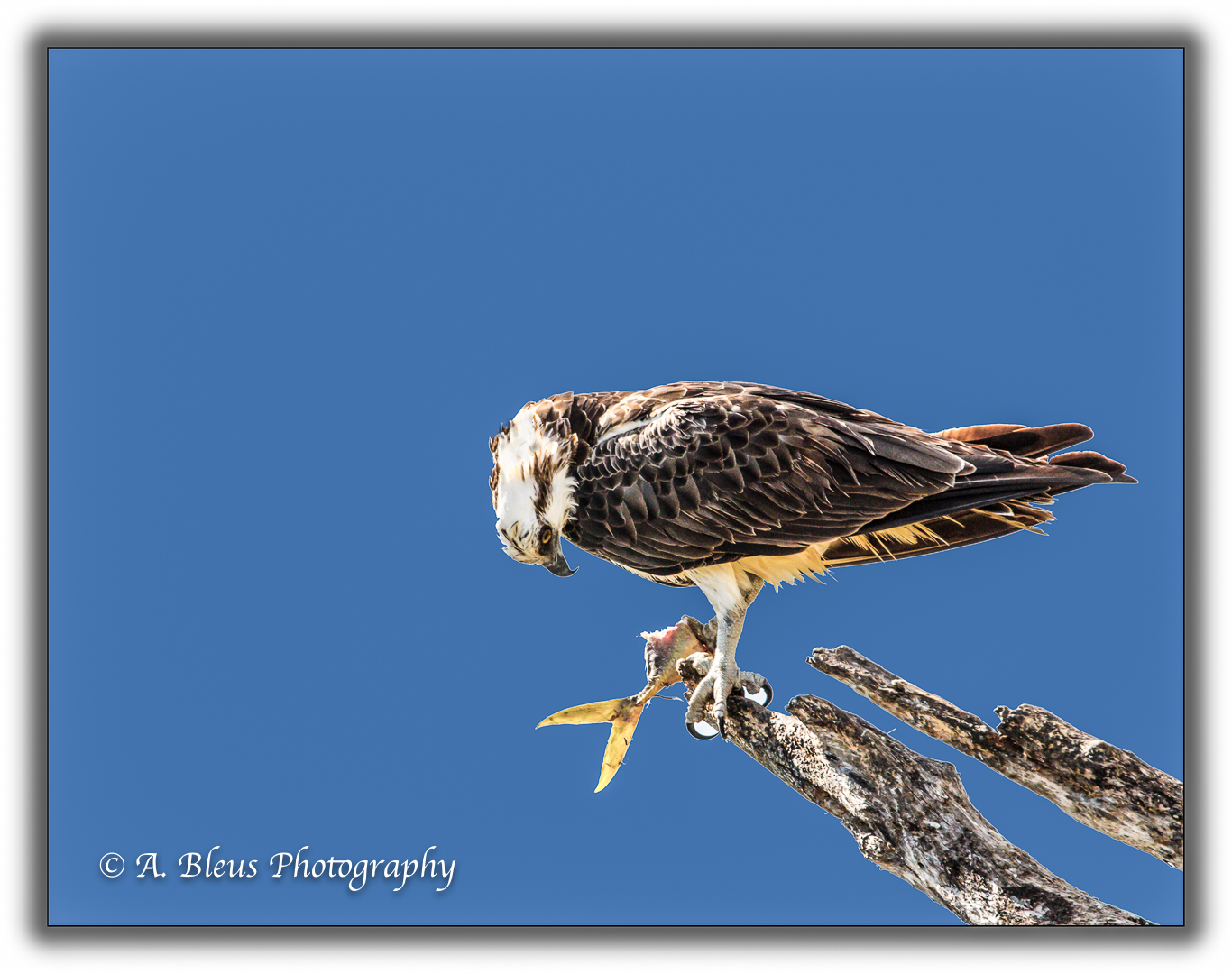 osprey-with-prey-mg_93e7328-2