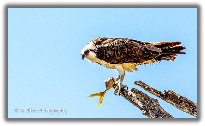 osprey-with-prey-mg_93e7328