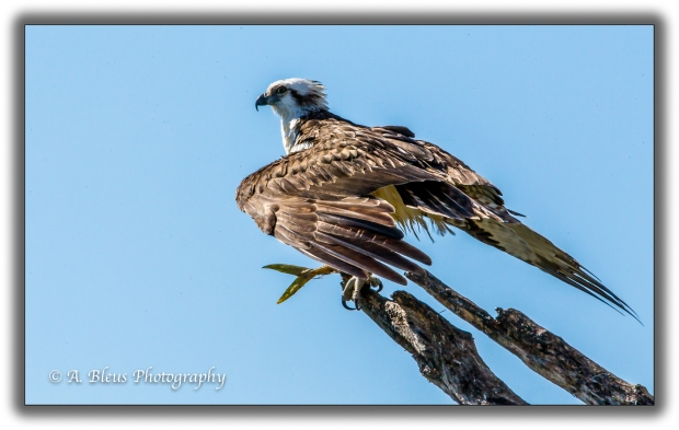 osprey-with-prey-mg_93e7353