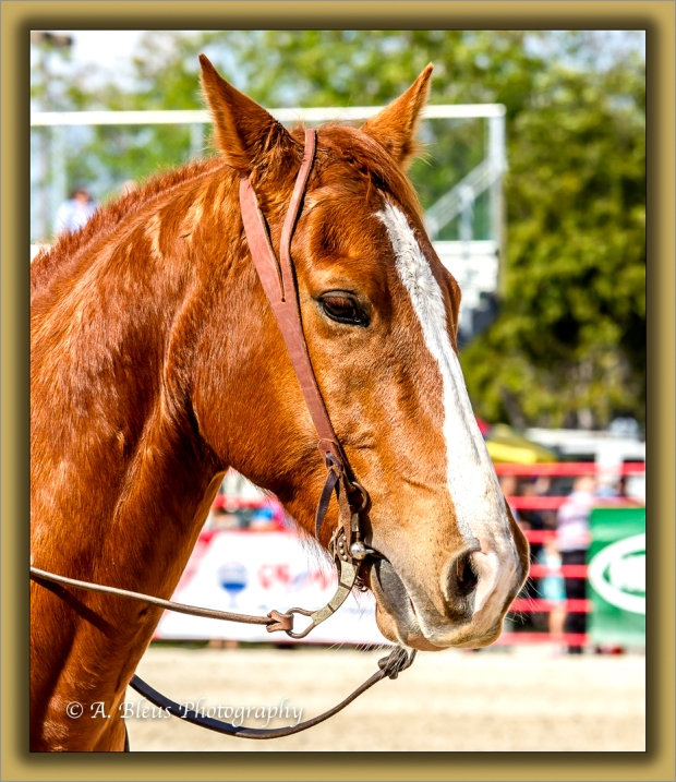 A Stallion_93E5569