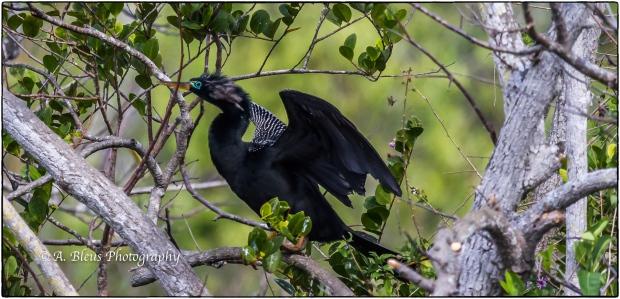 Anhinga during mating season MG_6931