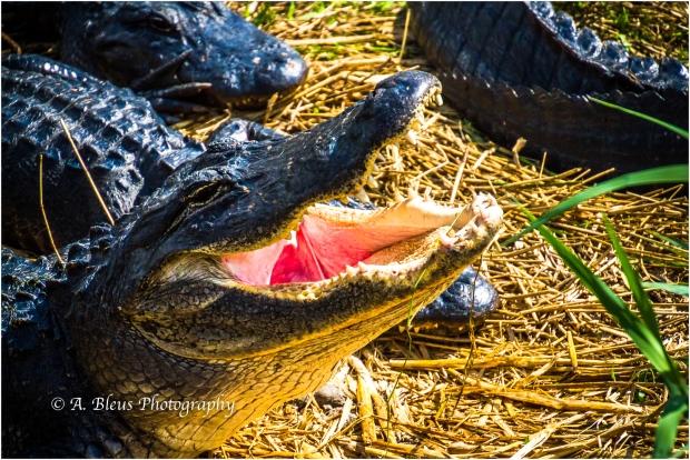 Gator yawning MG_6947-2