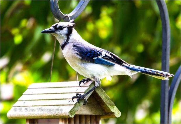 Blue Jay 93E_9164