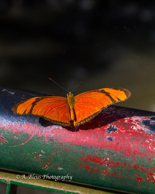 Adelpha Butterfly at Iguazu Falls Brazilian side, MG_9513