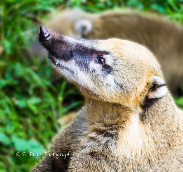 Coati at Iguazu Falls, Brazilian side MG_9424