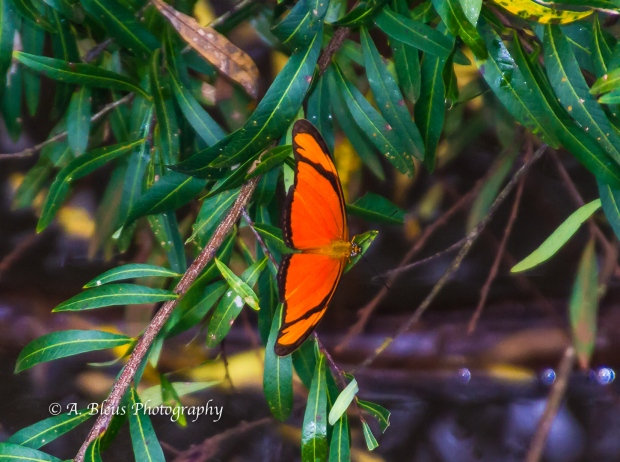 Dryas iulia Butterfly @ Iguazu Falls Argentinian side MG_9618