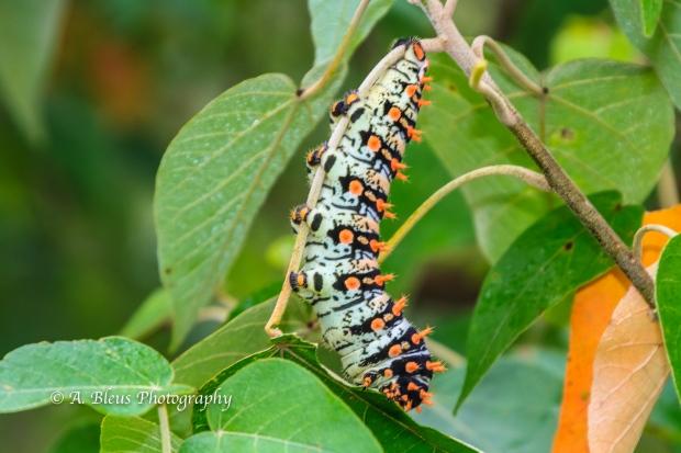 Giant Caterpillar, Iguazu Falls, Argentinian side MG_9665