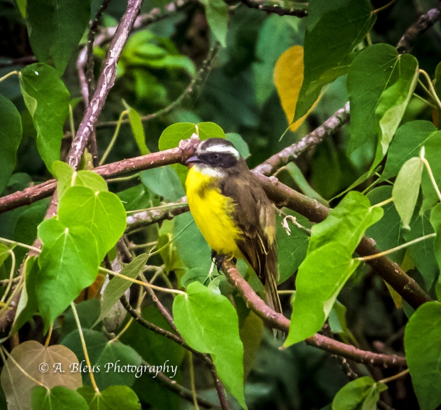Great Kiskadee Bird, Argentinian side MG_9716-2