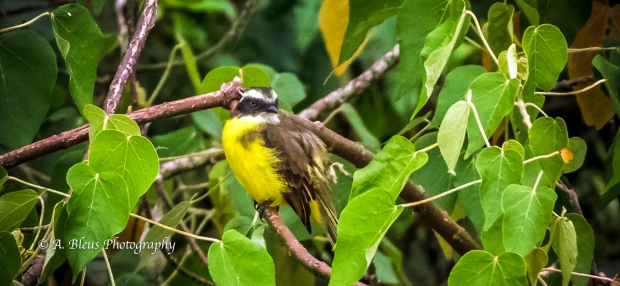 Great Kiskadee Bird, Argentinian side MG_9716
