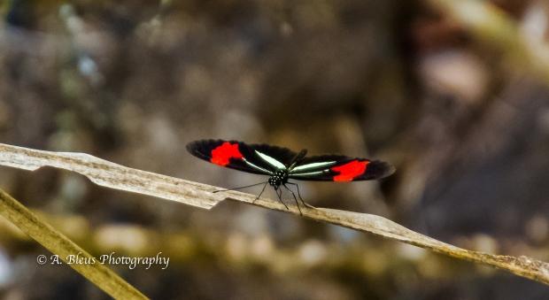 Melpomene Longwing @ Iguazu Falls Argentinian side MG_9608