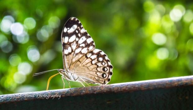 Ochre Spot Pororo Butterfly MG_9440-2
