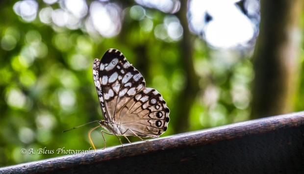 Ochre Spot Pororo Butterfly MG_9440-3
