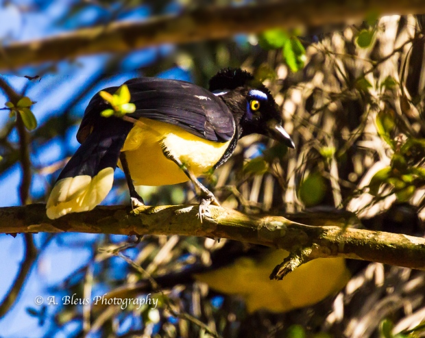 Plush-crested Jay Iguazu Falls Argentine side MG_ 9904-2