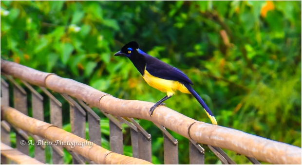 Plush-crested Jay, Iguazu Falls, Argentinian side MG_9664