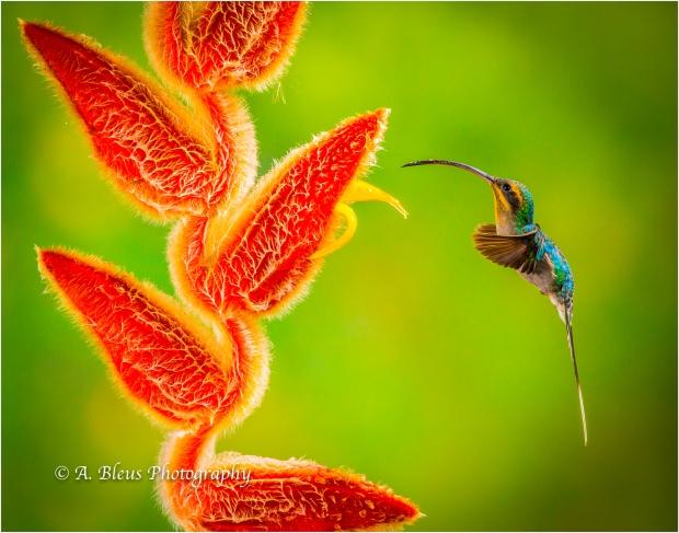 Green Hermit Hummingbird XOA_0230