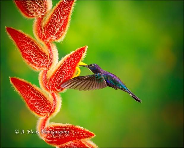 Violet Sabrewing Hummingbird XOA0283-2