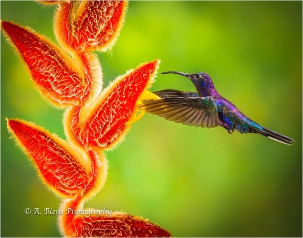 Violet Sabrewing Hummingbird XOA0283