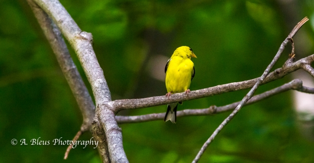 American Goldfinch- Saluda, North Carolina, 93E0492-2