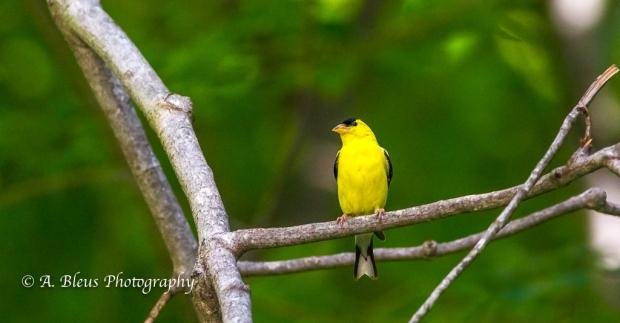 American Goldfinch- Saluda, North Carolina, 93E0492-3