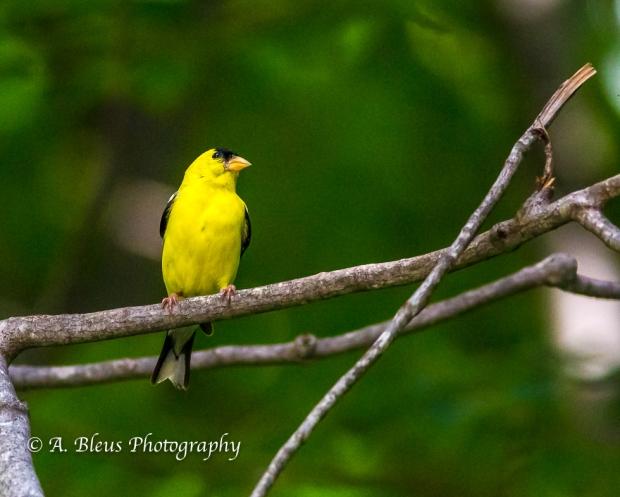 American Goldfinch- Saluda, North Carolina, 93E0492