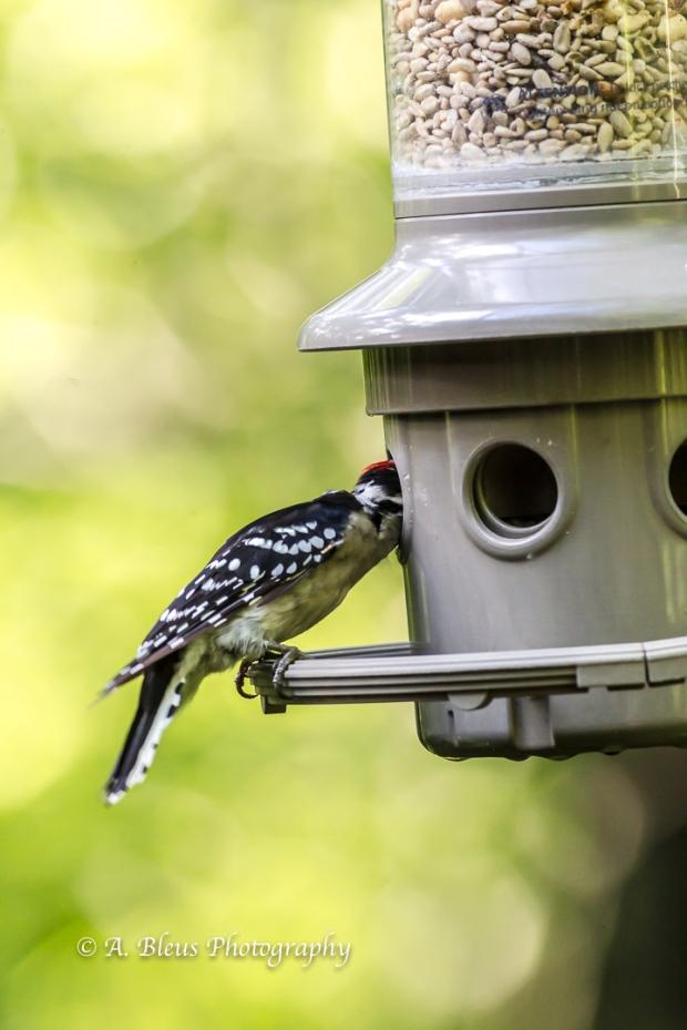 Downy Woodpecker-4