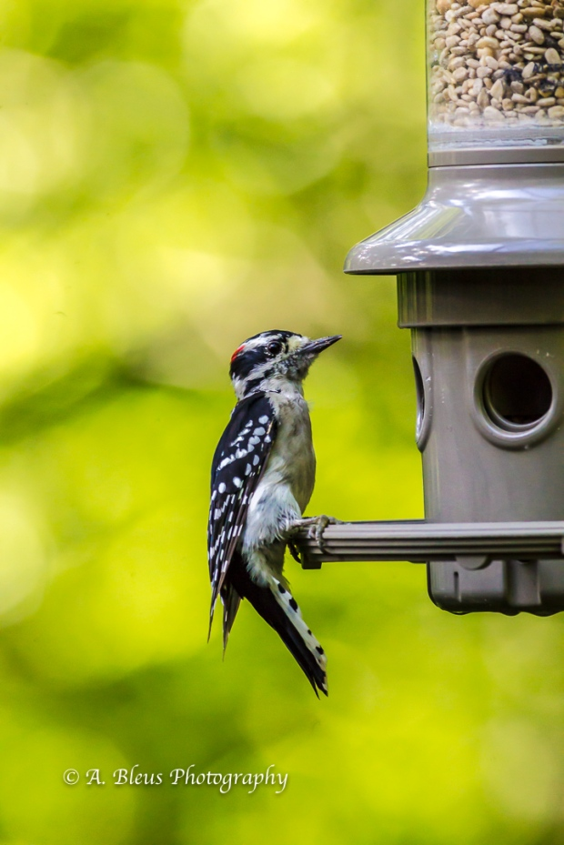 Downy Woodpecker-5