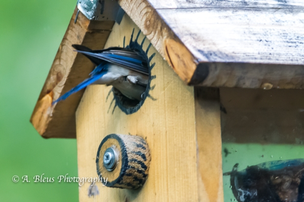 Eastern Blue Bird in a nest box-Saluda, North Carolina-93E0658-2